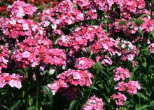 These Rose Magic Amazon dianthus start out white and transition to pink and finally rose. (Photo by MSU Extension Service/Gary Bachman)