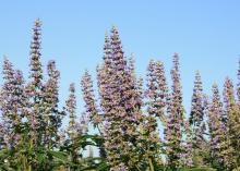 Vitex is a flowering shrub or small tree that blooms for at least six weeks in Mississippi's summer. Its brilliant flowers attract bees, butterflies and hummingbirds. (Photo by MSU Extension Service/Gary Bachman)