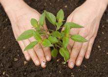 Using compost as a soil amendment or mulch around plants adds texture to the soil, improves its water-holding capacity, encourages earthworm populations and gives plants needed nutrients. (Photo from ThinkStock Photography/iStockphoto)