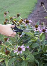 Removing spent flowers has big benefits for plants. For plants having single flowers, such as this Echinacea, simply deadhead spent flower stalks with a pair of scissors. (Photo by MSU Ag Communications/Kat Lawrence)