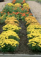 With their plentiful blooms and vivid colors, fall mums can be a bridge in the landscape between summer and winter annual color. (Photo by MSU Extension Service/Gary Bachman)
