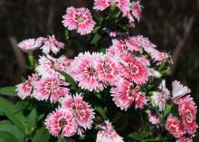 Dianthus Telstar Picotee is a cool-season plant with a delicately floral fragrance and beautiful blooms. (Photo by MSU Extension Service/Gary Bachman)