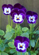 Violas such as these Purple Sorbets are tough plants capable of blooming in cold temperatures. (Photo by MSU Extension Service/Gary Bachman)