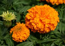 American marigolds, such as the All-America Selection Moonsong Deep Orange, have big flowers and tall stems. (Photo by MSU Extension Service/Gary Bachman)
