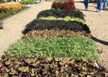 Ornamental sweet potatoes create vibrant carpets in full sun. These variety trials will be on display Oct. 18-19 at throughout the Fall Flower and Garden Festival at Mississippi State University's Truck Crops Experiment station in Crystal Springs.  (Photo by MSU Extension Service/Gary Bachman)