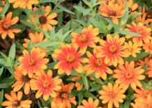 Zahara Sunburst Zinnia opens gold before a red stripe appears down the center of each petal. Cool fall weather allows this stripe to be more prominent than in the summer. (Photo by MSU Extension Service/Gary Bachman)