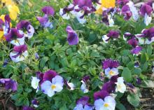 Cool Wave trailing pansies, like these Violet Wing and Golden Yellow selections, have a unique spreading and trailing growth habit that works well in landscapes and hanging baskets. (Photo by MSU Extension Service/Gary Bachman)