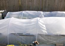 Provide easy winter protection with a small greenhouse structure made of plastic pipe and covered with plastic sheeting. (Photo by MSU Extension Service/Gary Bachman)