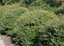 Schillings Dwarf yaupon holly is slow-growing and perfect for landscape planting, but it does not produce significant numbers of fruit. (Photo by MSU Extension Service/Gary Bachman)