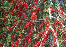 Yaupon Holly is one of the finest native hollies, with extreme production of candy-apple red berries that are perfect for homemade Christmas decorations. (Photo by MSU Extension Service/Gary Bachman)