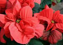 Poinsettias with unopened or only partially opened cyathia last longer as decorations for the Christmas holidays. (Photo by MSU Extension Service/Gary Bachman)
