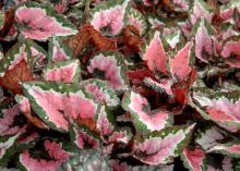 The Hilo Holiday Rex begonia has coarse-textured leaves with colorful streaks and splashes of silver, cream and burgundy. It has the potential to become a cornerstone of Christmas decorating. (Photo by MSU Extension Service/Gary Bachman)