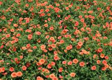 Dreamsicle is a bright orange Superbells variety that reminds me of the frozen treats bought from ice cream trucks in the summer. (Photo by MSU Extension Service/Gary Bachman)