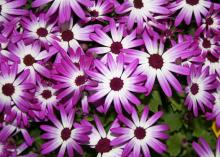 Senetti pericallis come in a variety of colors from blue to purple. This magenta bicolor is an early-spring-blooming plant that serves the same role that mums serve in the fall. (Photo by MSU Extension Service/Gary Bachman)