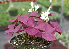 Mississippi State University Bulldog fans can find plenty of uses for the maroon foliage of the Charmed series of Oxalis called Wine. The white flowers of this shamrock almost shine against the dark foliage. (Photo by MSU Extension Service/Gary Bachman)