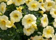 The Early Bird series of Calibrachoa have clear, bright colors, such as those in this Early Bird Yellow. (Photo by MSU Extension Service/Gary Bachman)