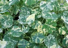 The Alaska nasturtium has green-and-white variegated foliage. It has a mounding growth habit and yellow, crimson, salmon and cherry flowers. (Photo by MSU Extension Service/Gary Bachman)
