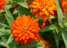 Zinnia Zahara Double Fire has robust branching that supports masses and mounds of flowers with very little maintenance needed. (Photo by MSU Extension Service/Gary Bachman)