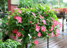 Vinca Mediterranean Hot Rose has a low-growing, spreading growth habit that makes it ideal for hanging baskets or a colorful ground cover. (Photo by MSU Extension Service/Gary Bachman)