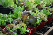 These colorful lettuce bowls prove that you only need a small garden or patio to enjoy fresh grown vegetables year round. (Photo by MSU Extension Service/Gary Bachman)