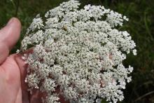 From roadsides and ditches to the landscape, Queen Anne's Lace has delicate lace-like flower heads with a thousand or more tiny individual flowers that can produce many thousands of seeds. (Photo by MSU Extension Service/Gary Bachman)