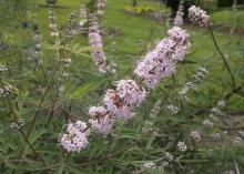Pink Sensation vitex produces clear, light-pink flowers. While the 4- to 6-inch-long panicles are not as big as some other vitex varieties, they produce all summer long. (Photo by MSU Extension Service/Gary Bachman)