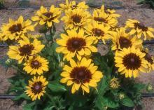 Some Black-eyed Susans, such as this Denver Daisy, display varying degrees of darker colors at the bases of their flower petals. (Photo by MSU Extension Service/Gary Bachman)