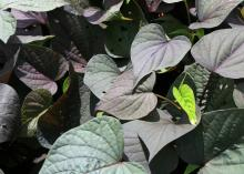 The Sweet Caroline series of sweet potato vines has two leaf shapes -- cut-leaf and heart-shaped -- that come in a variety of colors, such as this purple variety. (Photo by MSU Extension Service/Gary Bachman)