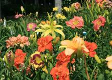 Daylilies come in a wide variety of colors, shapes and sizes, creating a blooming kaleidoscope in the landscape. (Photo by MSU Extension Service/Gary Bachman)