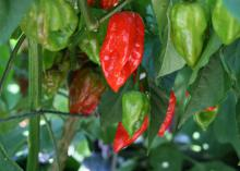Ghost peppers, which are more than 100 times hotter than a jalapeno, also stand out as attractive ornamental peppers. (Photo by MSU Extension Service/Gary Bachman)