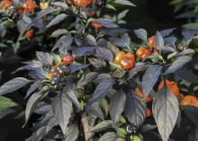 Lil' Pumpkin are ornamental peppers with deep purple, almost black foliage and bright orange fruit that are perfect for the Halloween season's festivities. (Photo by MSU Extension Service/Gary Bachman)