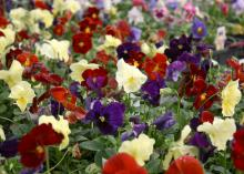 re unusual in pansies. (Photo by MSU Extension Service/Gary Bachman)