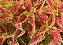 Although coleus is traditionally a summer favorite, some of its best color happens when temperatures moderate in the fall. This Fiesta cherry coleus brings falls colors to Mississippi gardens. (Photo by MSU Extension Service/Gary Bachman)