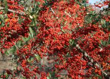 Pyracantha's fruit clusters are prominent from late fall to spring. Displayed in a vase, they make a great winter decoration (Photo by MSU Extension Service/Gary Bachman)