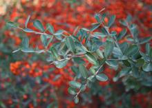 The foliage of Pyracantha is a dark green in the summer. The shrub is a semi-evergreen in mild winters. (Photo by MSU Extension Service/Gary Bachman)