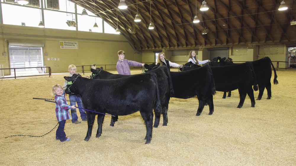 young males and females of various ages with black Angus heifers in livestock show