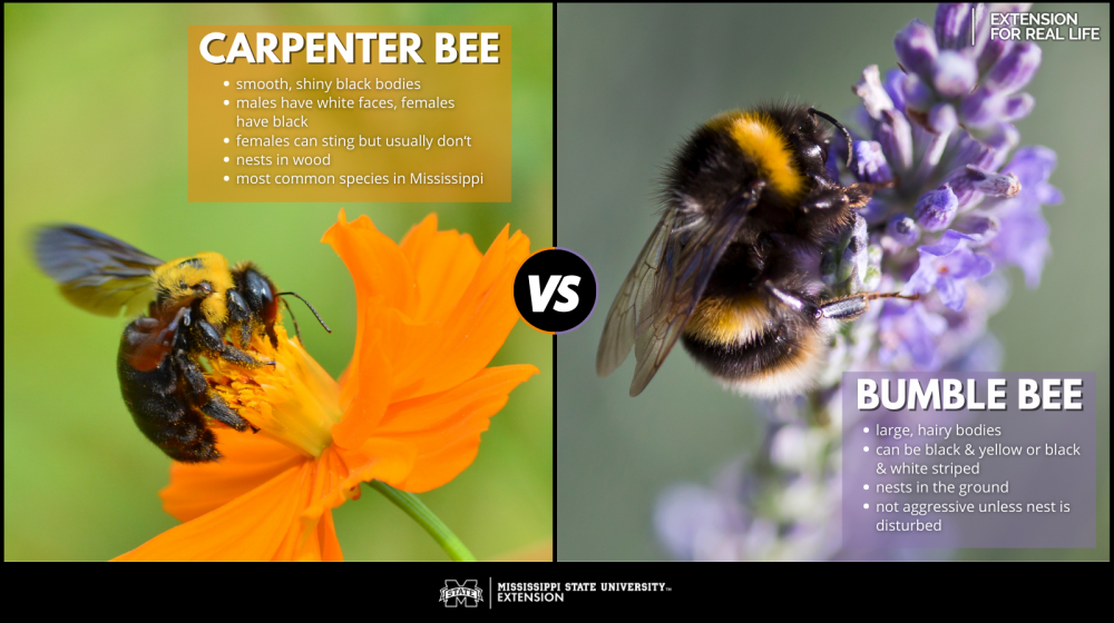 Graphic showing differences between carpenter bees and bumble bees