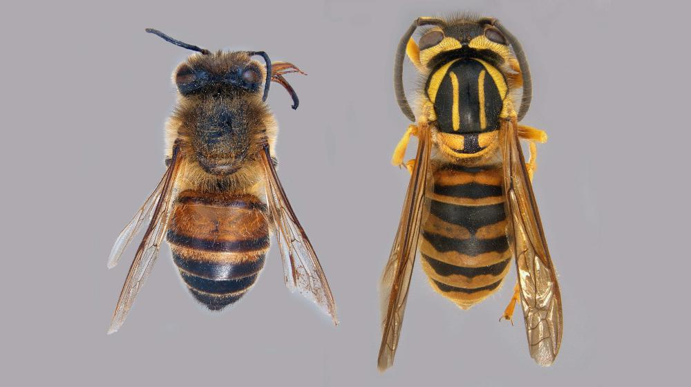 On the left is a close-up photo of a worker bee specimen, on the right is a close-up photo of a Southern yellow jacket specimen.