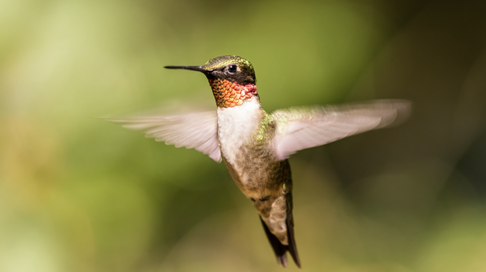 A ruby-throated hummingbird.