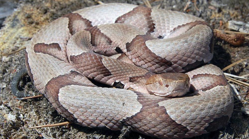 A coiled copperhead snake looks at the camera.