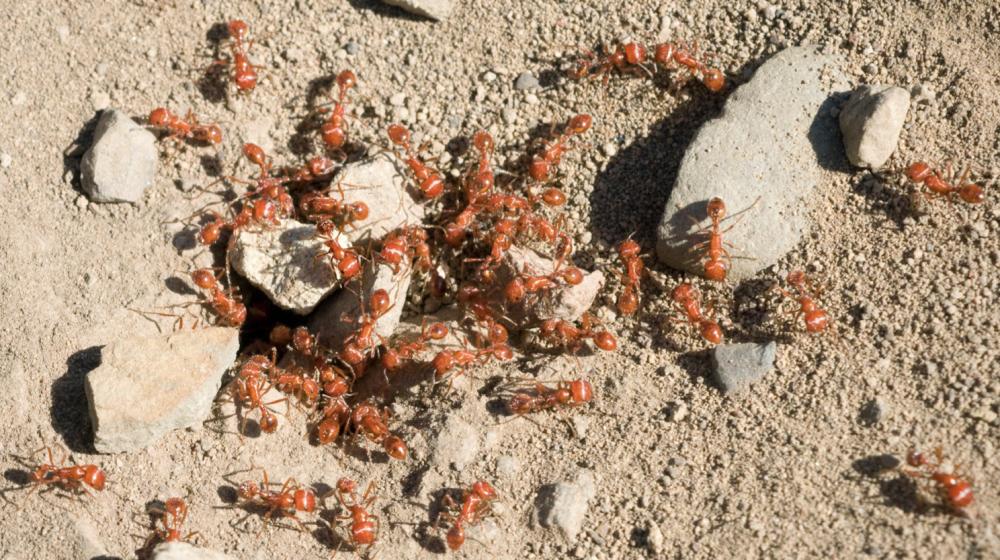 Fire ants around rocks