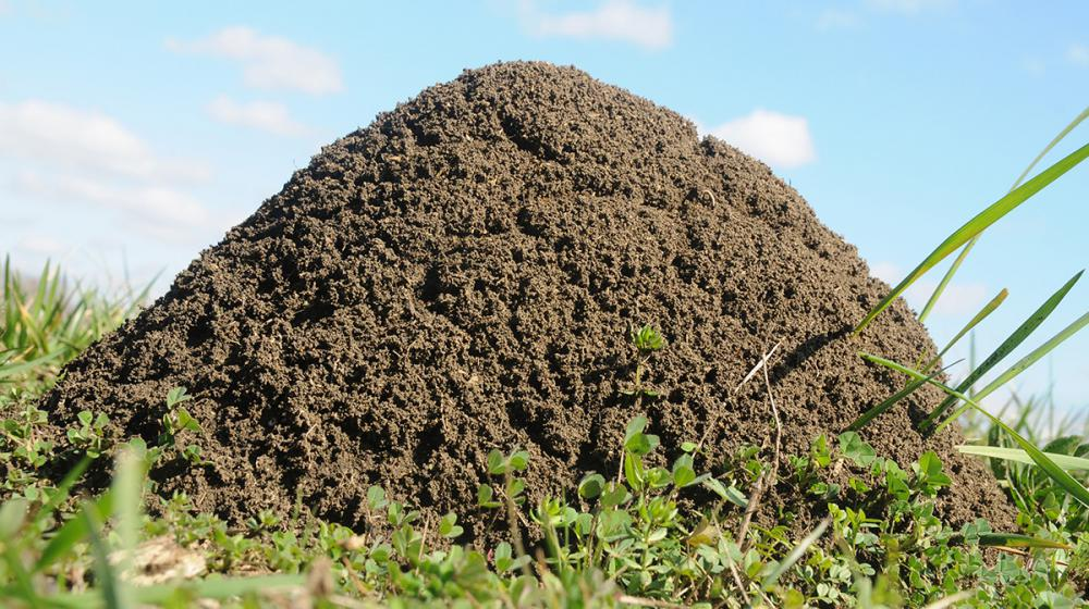 A close-up of a fire ant mound.