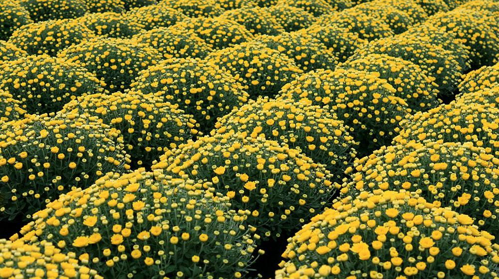 Rows of yellow mums.