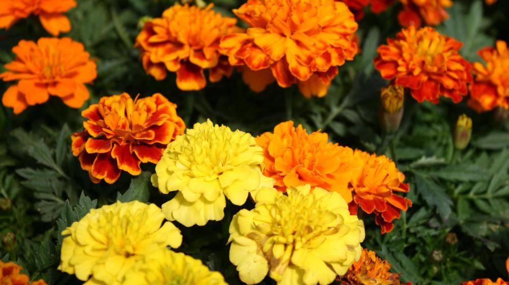 Close-up shot of yellow, orange, and two-toned marigold blooms of red and orange. (Photo by Gary Bachman