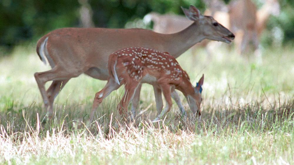A deer and doe feeding.