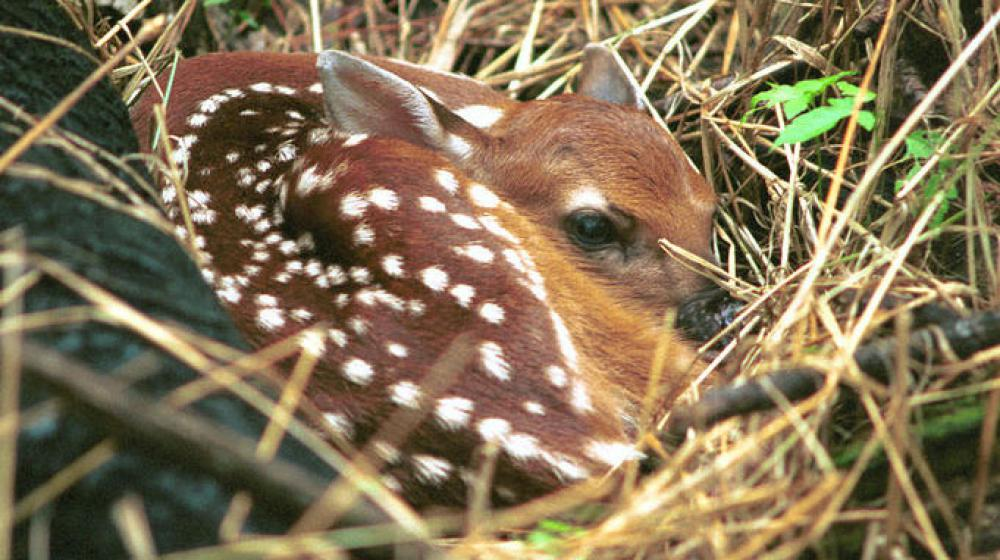 This is an image of a fawn curled up in the grass.