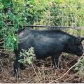 Photo of a wild hog