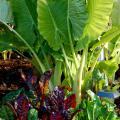 "Bright Lights Swiss chard partners well with the giant Taro elephant ear. Bright Lights can be eaten like fresh spinach and its stems cooked like asparagus. While we grow it for its tropical foliage, some cultures cook the giant taro's roots as a starch substitute, calling it ""poi"" or ""dasheen."" (Photo by Norman Winter)"