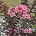 The maroon leaves of the Delta Jazz crape myrtle do not scorch in the heat of Mississippi summers, and the foliage is accented by medium pink flowers. (Photo by MSU/Wayne J. McLaurin)