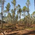 Mississippi State University scientists are creating a 550-acre demonstration forest in Oktibbeha County by thinning timber to different densities. This section has been thinned to create bobwhite quail habitat. (Photo courtesy of Misty Booth)
